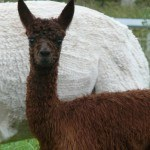 Luther | Alpaca Farm New Forest