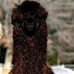 the Synergist | Alpaca Farm New Forest