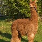 Ginger | Alpaca Farm New Forest