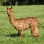 Champion | Alpaca Farm New Forest