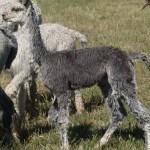 Young Grey | Alpaca Farm New Forest