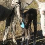 Young Grey Alpaca | Alpaca Farm New Forest
