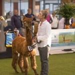 Champion | Alpaca Farm New Forest