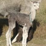 Young Alpaca | Alpaca Farm New Forest