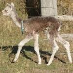 Young Alpacas | Alpaca Farm New Forest