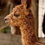 Young | Alpaca Farm New Forest