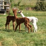 Young Alpacas Luther | Alpaca Farm New Forest