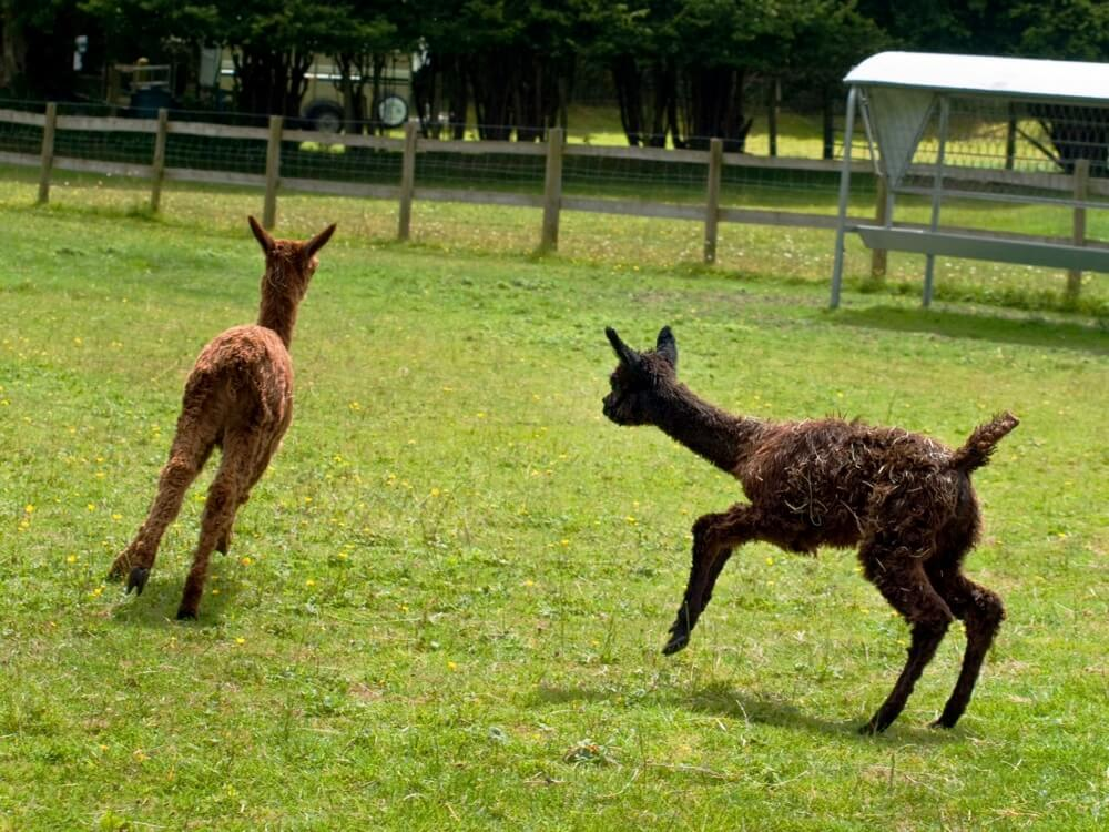 Alpaca Farm Southampton | Alpaca Farm New Forest