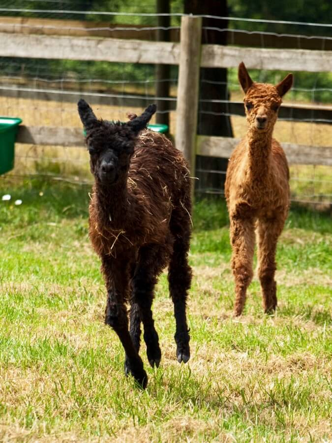 Small Alpacas | Alpaca Farm New Forest