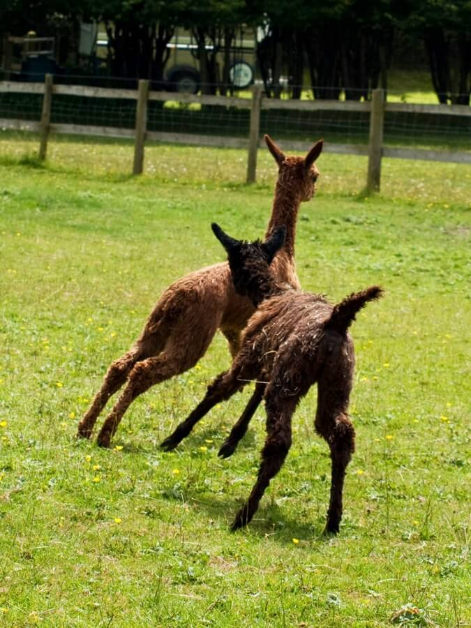 Alpacas | Alpaca Farm New Forest
