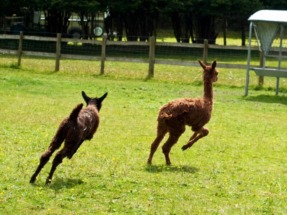 Male Stud Alpaca | Alpaca Farm New Forest